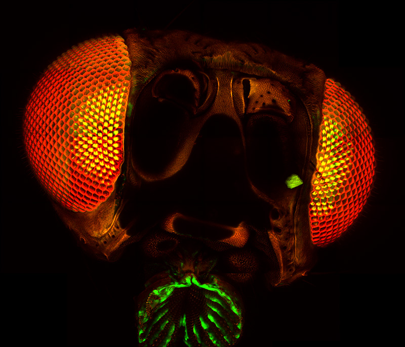 Stitched image of a complete <em>Drosophila</em> fly head, using a 40X objective.